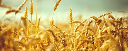bölge buğday pazarı